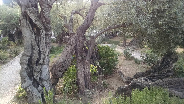 Olive Trees where Jesus was arrested by the Romans
